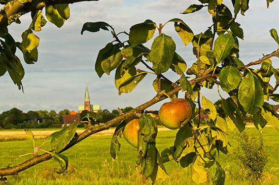 Die Äpfel können geerntet werden, alle Meldorfer sind herzlich zur Ernte eingeladen.